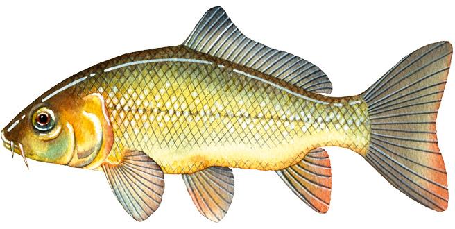 European Carp