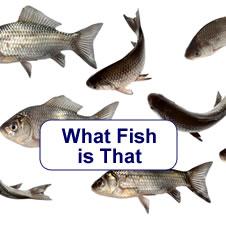 www nativefish asn au