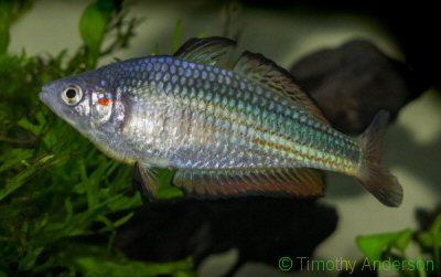 Photo of  a male crimson spotted rainbowfish