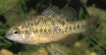 Variegated pygmy perch