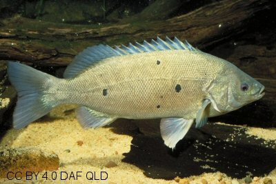 Barcoo grunter showing dark spots on body